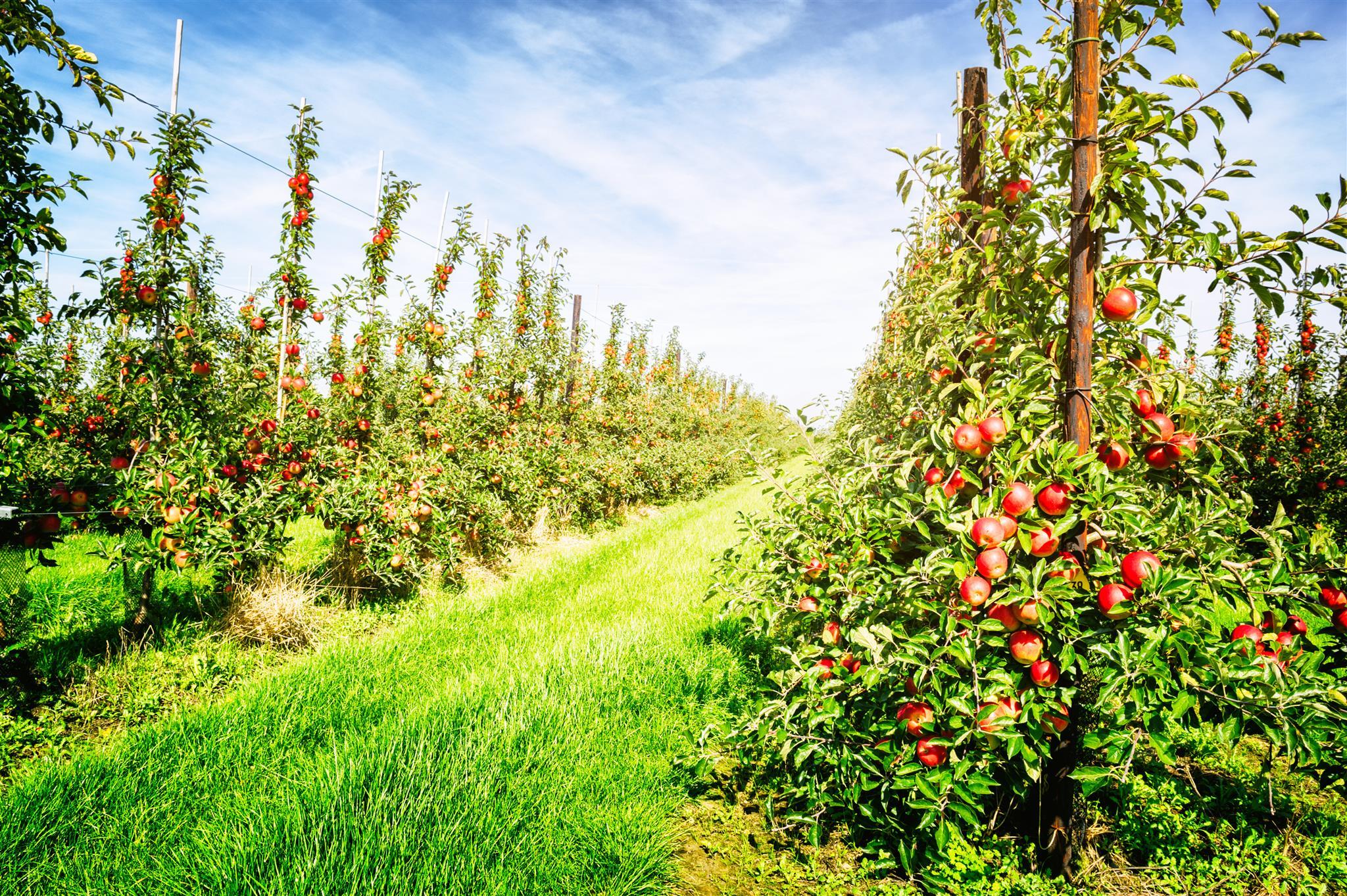 Cultura de pomares de Pomóideas (macieiras e pereiras)